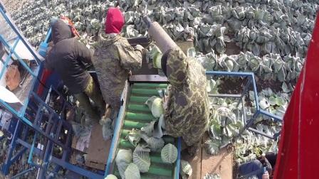 阿萨力(格立莫集团)蔬菜收获机械作业视频2017