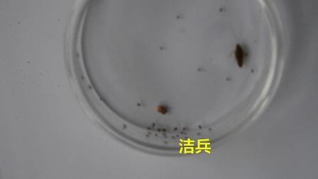 一只德国小蠊小蟑螂可以孵化多少个小蟑螂呢