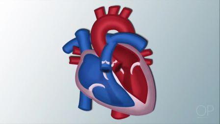 心脏解剖学和生理学基础讲解(波士顿儿童医院)