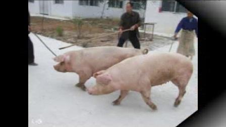 广东省今日猪价行情:2018年1月18日广东省生猪价格播报,下跌!