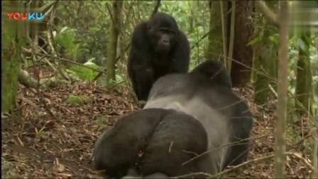 动物视频:野外实拍黑猩猩繁殖过程,第一次见_标清