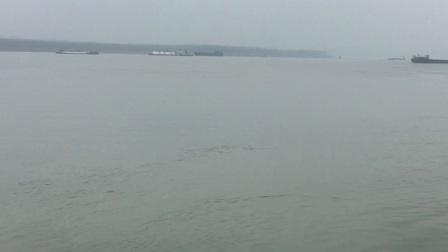 鄂州华容区长江附近小江豚几个游玩