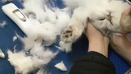 给它拆毛结猫咪说: 有种放开我!