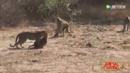 非洲大猫,花豹捕猎的精彩画面,疣猪,角马,狒狒都难逃豹爪!