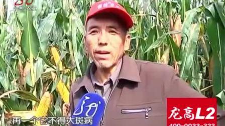 安达适合种什么品种得玉米?