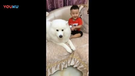 萨摩试着用狗语跟小主人交流, 看把它急的, 表情太搞笑了