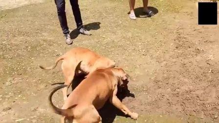 带比特犬回乡打架, 结果被邻村狗王按倒撕咬失败而回