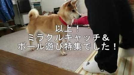 【柴犬小春】奇迹一般的接住球, 球类游戏特辑!