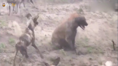 非洲野狗叫什么