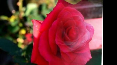 羞答答的玫瑰靜悄悄地開