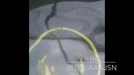 刺鳅苗吃饲料视频