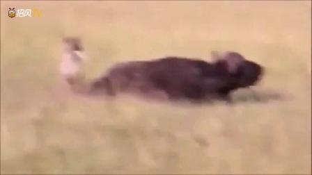 实拍猎奇:非洲鬣狗一口咬死800公斤野牛,狮子被吓得不敢动!