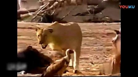 当河马凶残起来的时候, 还是躲远点吧, 狮子半边脸都被咬烂了