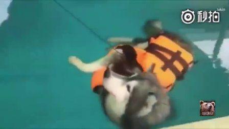 主人想让二哈学习游泳,怕它淹着,就给它穿上了救生衣,结果....