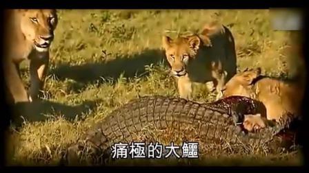 巨大鳄鱼偷吃幼狮, 惨被三只母狮分尸, 凄惨画面不忍直视