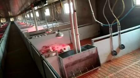 青岛普惠工程自动化养猪设备-新大13