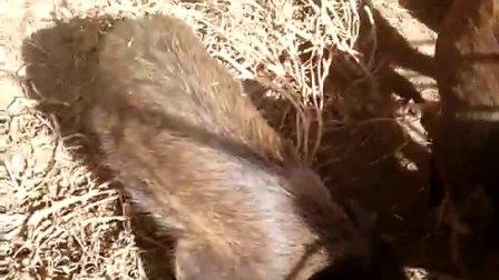 内蒙古巴彦淖尔市腾野特种野生动物养殖繁育基地