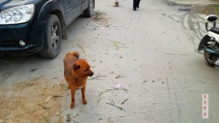 棕红的狗狗独自出来玩耍,主人这样放任它,不担心狗狗的安全吗?