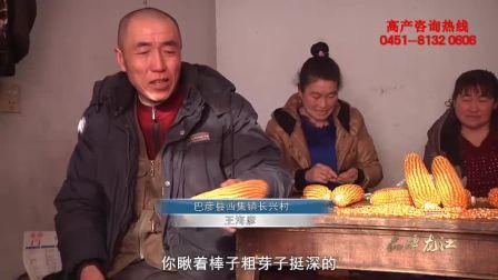 巴彦县最高产的玉米种子——保收龙高L2