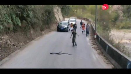 湖南眼镜王蛇挡路, 大家都不敢靠近, 一男子上去指挥蛇王过马路