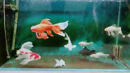 长尾草金鱼