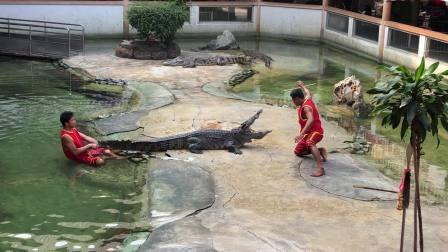 鳄鱼表演1