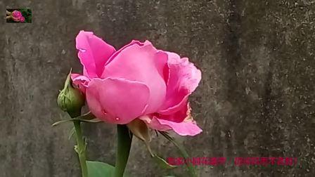 我家小园花盛开,历经风雨不言败!