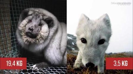 """残忍, 为了毛皮竟将狐狸被养成""""怪物"""""""