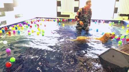 Tiger第一次游泳
