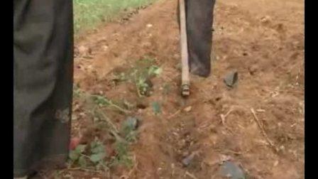 蓝莓的栽培种植技术 如何栽培蓝莓教程 疾病防治 疾病防治
