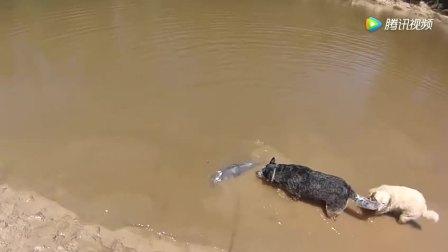钓鱼: 大鱼拉上岸, 两条狗狗就好奇围观, 一个甩尾直接懵逼了