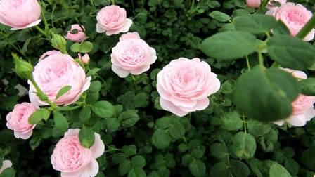 天狼月季---群开的瑞典女王,给你一片粉色花海