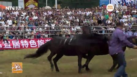 两只公马为争一只母马交配权斗得你死我活 场面激烈引万人观战!