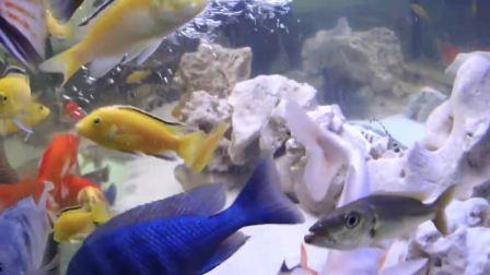 锦鲤和三湖慈鲷混养