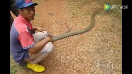 泰国男子捕获4米长眼镜王蛇, 这个真的厉害了