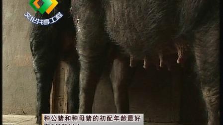湘西黑猪养殖技术(上)