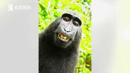 猴子抢相机拍的自拍照 版权归猴子还是摄影师?