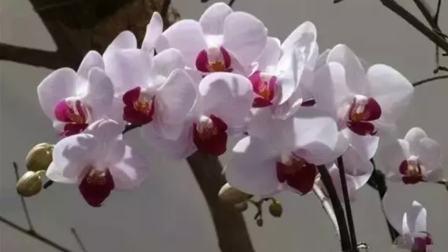 蝴蝶兰  名花欣赏