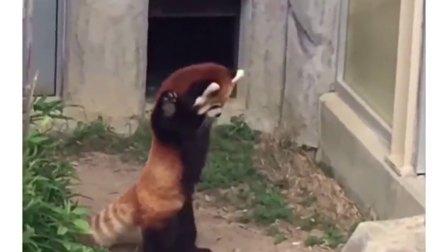 Red panda meets rock!
