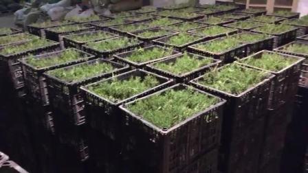 迷迭香种植基地-上禾生物