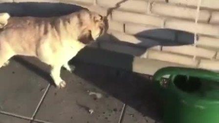 这狗子的智商可以说是告别喝水了。。。