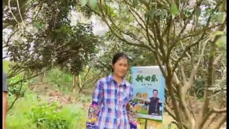 广西南宁青秀区伶俐镇荔枝使用耕田乐后提前上市