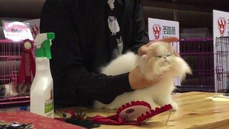 2018  波斯传奇 CFA猫展