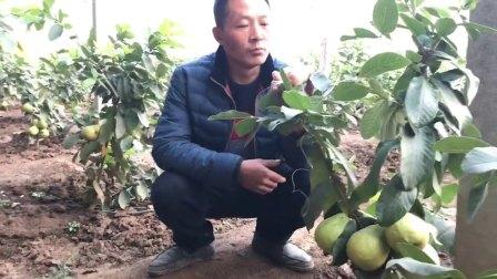 新品种水果(四季梨)。想种植的朋友可以加我微信  Lsijili