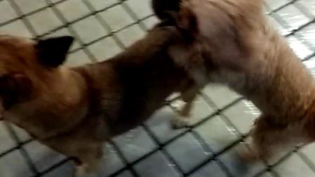 交配二个多钟了,两狗是不是傻?