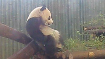 超可爱熊猫打架之古惑仔少年激斗篇