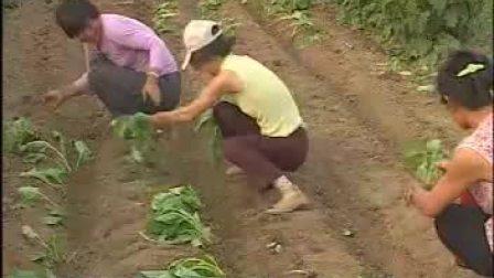 串叶松香草的种植技术