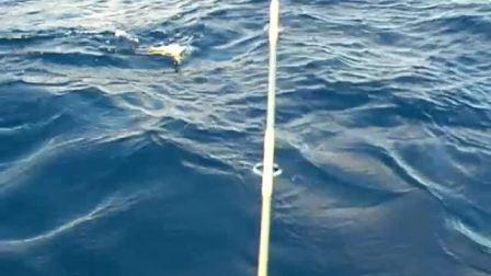 小金枪鱼拖钓中脱钩而去