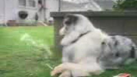 超级搞笑!可爱狗狗抽烟解闷视频