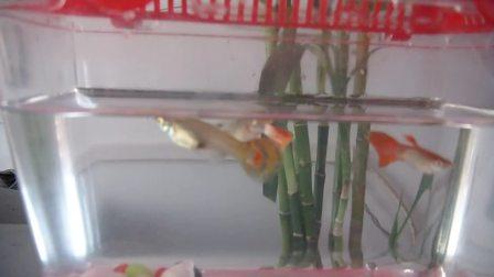 孔雀鱼是怀孕了吗?